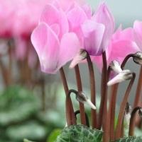 シクラメンの花言葉の由来が可愛らしくてほっこり(*´ω`*)