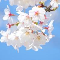 桜の花言葉の由来はワシントン大統領の逸話だった!?