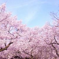 西公園の桜開花情報2016!ライトアップやアクセス方法は?