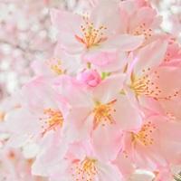 長崎の桜の名所と開花情報(2016)をお届けします!