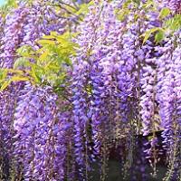 長崎の藤の名所「藤山神社」の見ごろやアクセス方法は?