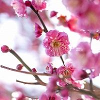 福岡の梅の名所2016!穴場や市内で梅を見れる場所って?