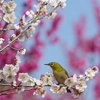 佐賀の梅の名所2016~見ないと絶対損する梅の名所厳選5ヶ所!~
