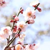 長崎の梅の名所2016!島原城と梅園身代り天満宮の見ごろや住所は?