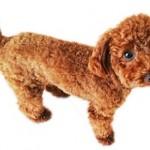 犬のサマーカットは注意が必要?効果やデメリット、正しい方法は?